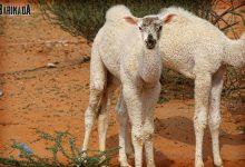 Cadou de Paști: Olguţa va da cămială guvernamentală la tot Poporul