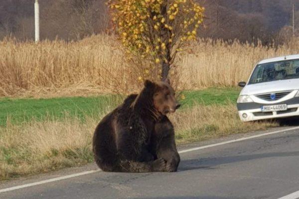 ursul lovit de masina
