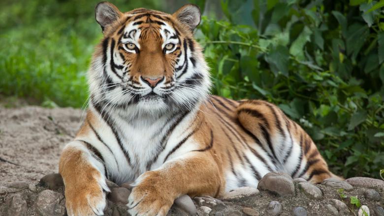 tigru coronavirus