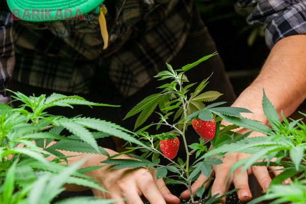 capsuni marijuana barikada