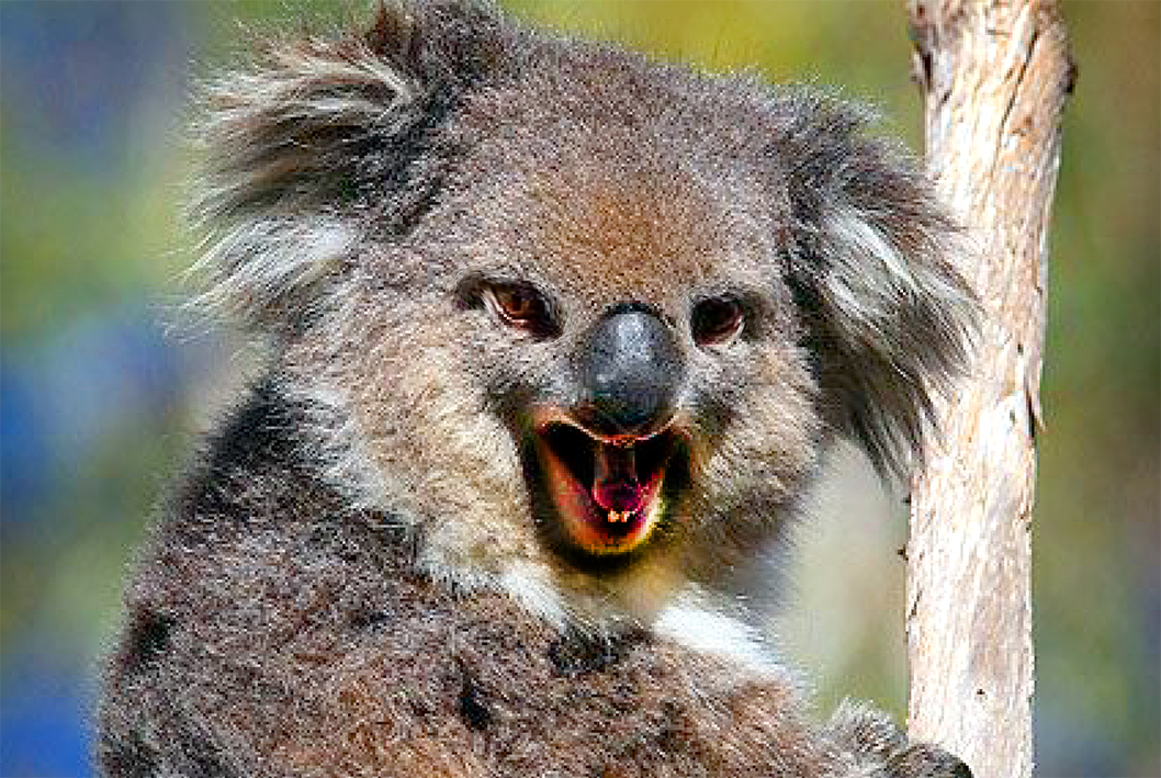 activista anti vaccin koala
